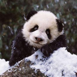 RAVENSBURGER Čtvercové puzzle Sladká panda 500 dílků
