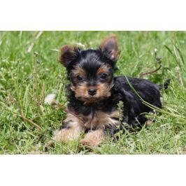 ZDEKO / TREFL Puzzle ZDEKO 500 dílků - Jorkšírský teriér (Yorkshire Terrier)