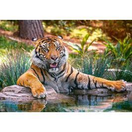 CASTORLAND Puzzle Tygr sumaterský 500 dílků
