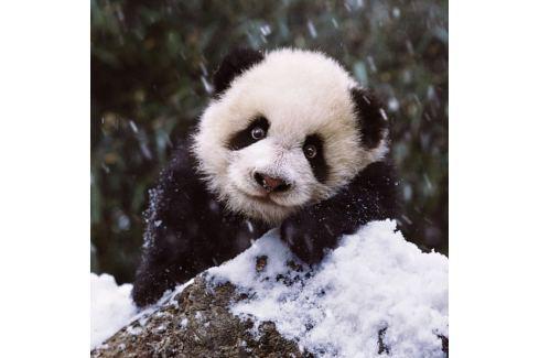 RAVENSBURGER Čtvercové puzzle Sladká panda 500 dílků Puzzle
